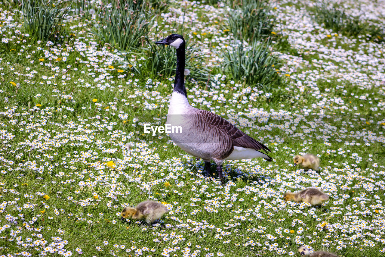 animal themes, animal, animal wildlife, animals in the wild, bird, group of animals, plant, vertebrate, two animals, goose, nature, grass, young animal, no people, young bird, day, growth, gosling, beauty in nature, green color, animal family, outdoors