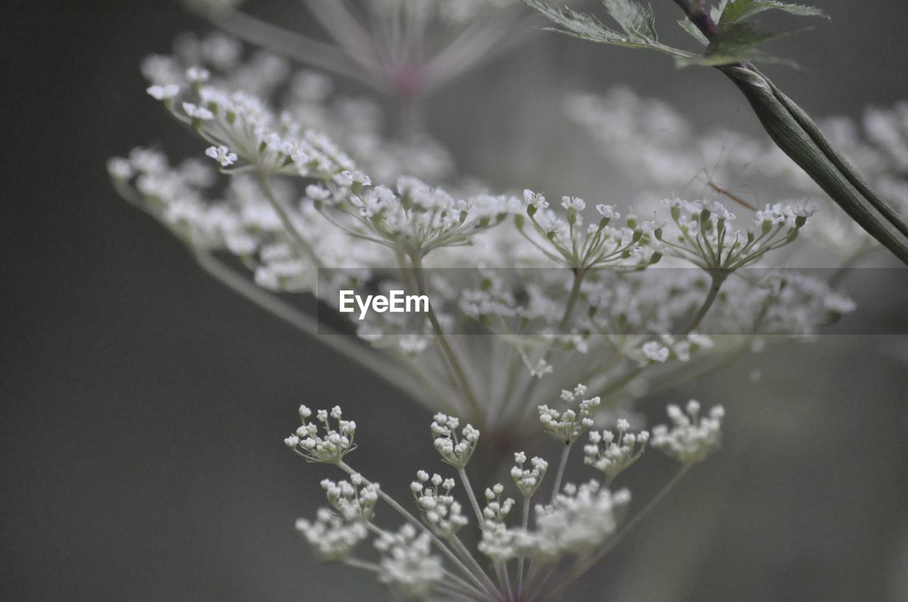 flowering plant, plant, beauty in nature, flower, vulnerability, fragility, freshness, no people, nature, growth, selective focus, close-up, focus on foreground, white color, petal, day, flower head, outdoors, inflorescence, plant stem, dew