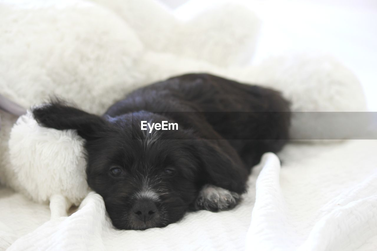 PORTRAIT OF PUPPY LYING ON BED