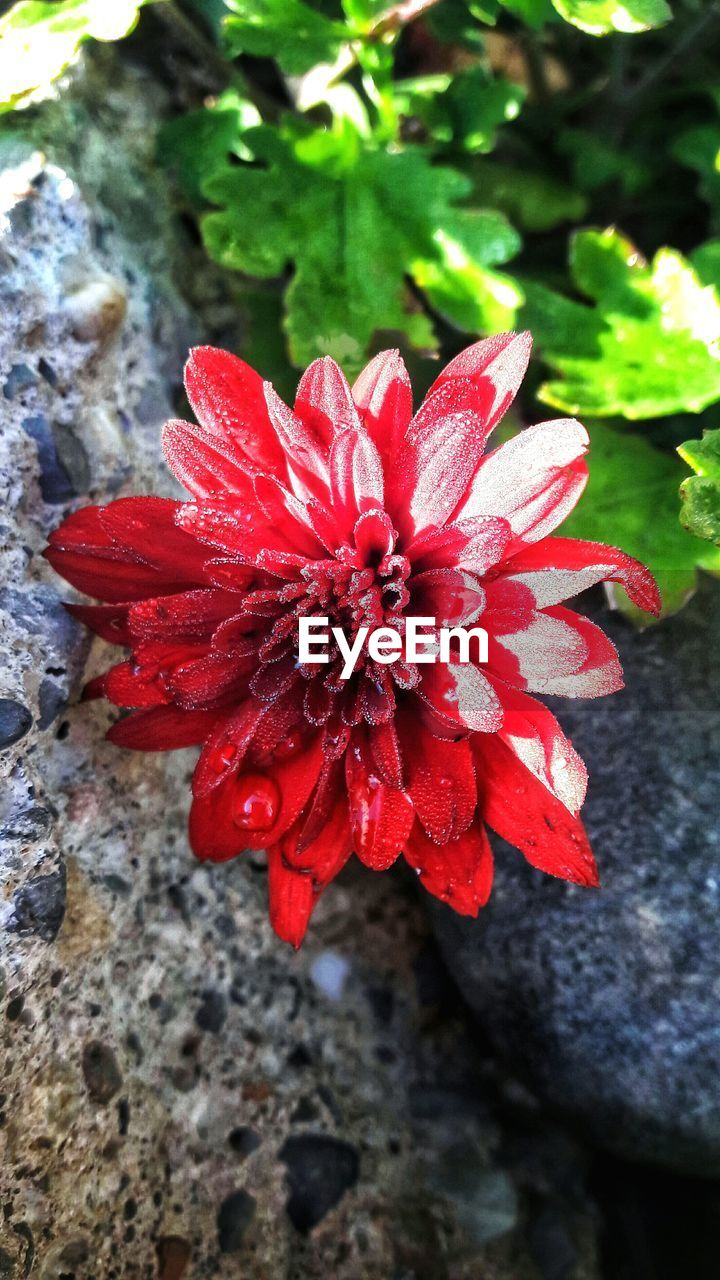 flower, red, petal, nature, beauty in nature, fragility, growth, flower head, day, freshness, outdoors, plant, no people, close-up, blooming, water, hibiscus, zinnia