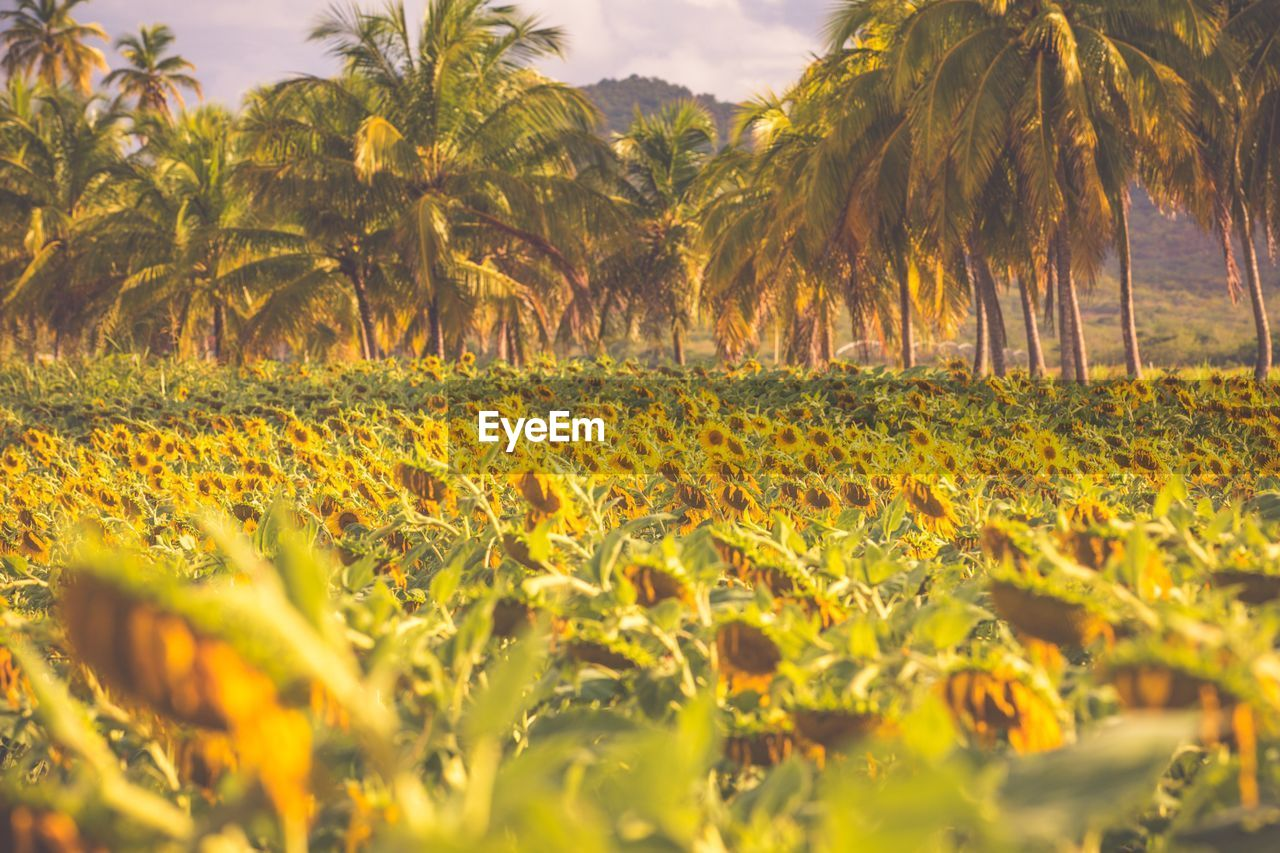 nature, yellow, growth, plant, beauty in nature, field, flower, tree, outdoors, no people, day, grass, freshness, close-up, sky