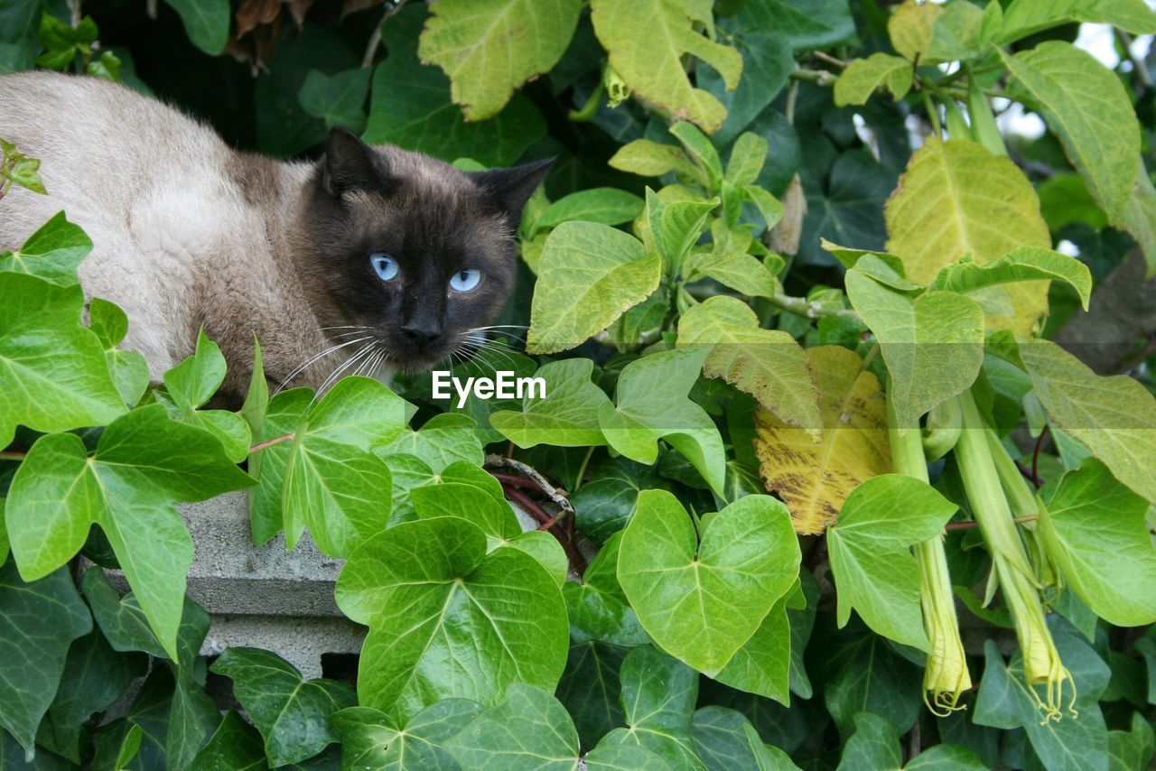 Cat With Blue Eyes Amidst Plants