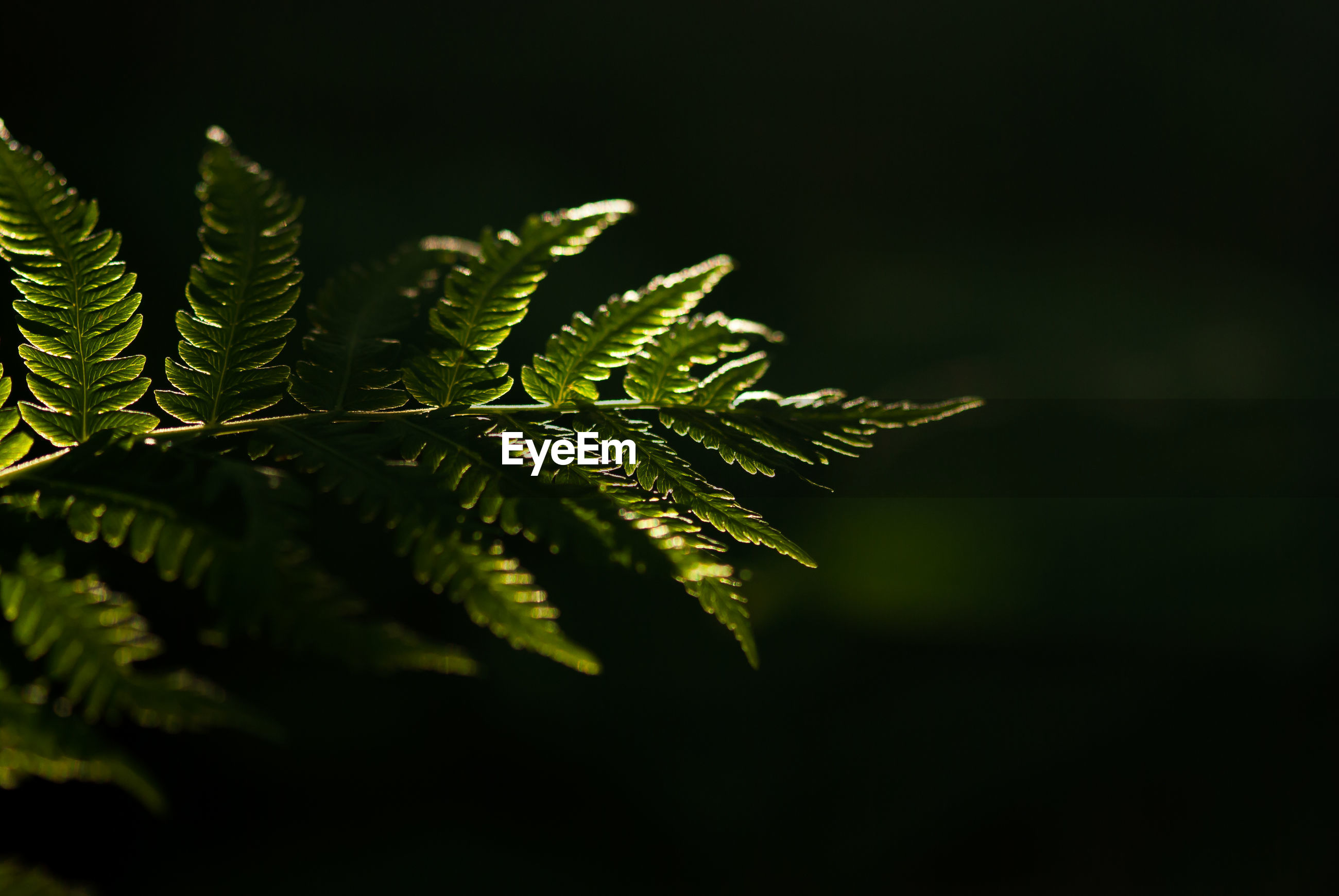 CLOSE-UP OF FERN LEAVES ON PLANT AGAINST BLACK BACKGROUND