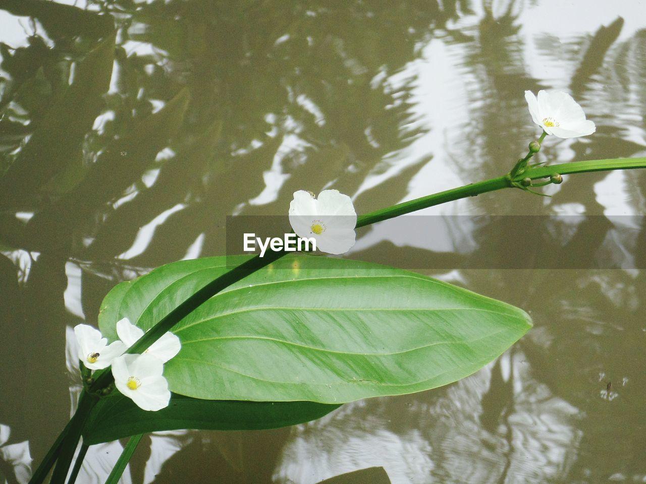 CLOSE-UP OF WHITE ROSE FLOATING ON LAKE