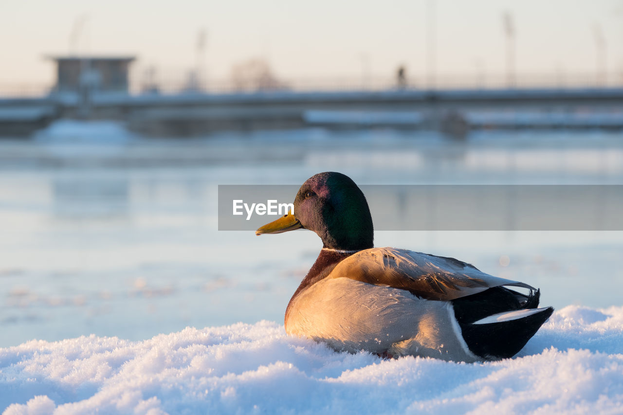water, bird, vertebrate, animals in the wild, animal wildlife, animal themes, animal, nature, winter, one animal, focus on foreground, lake, duck, cold temperature, poultry, no people, day, snow, architecture, outdoors