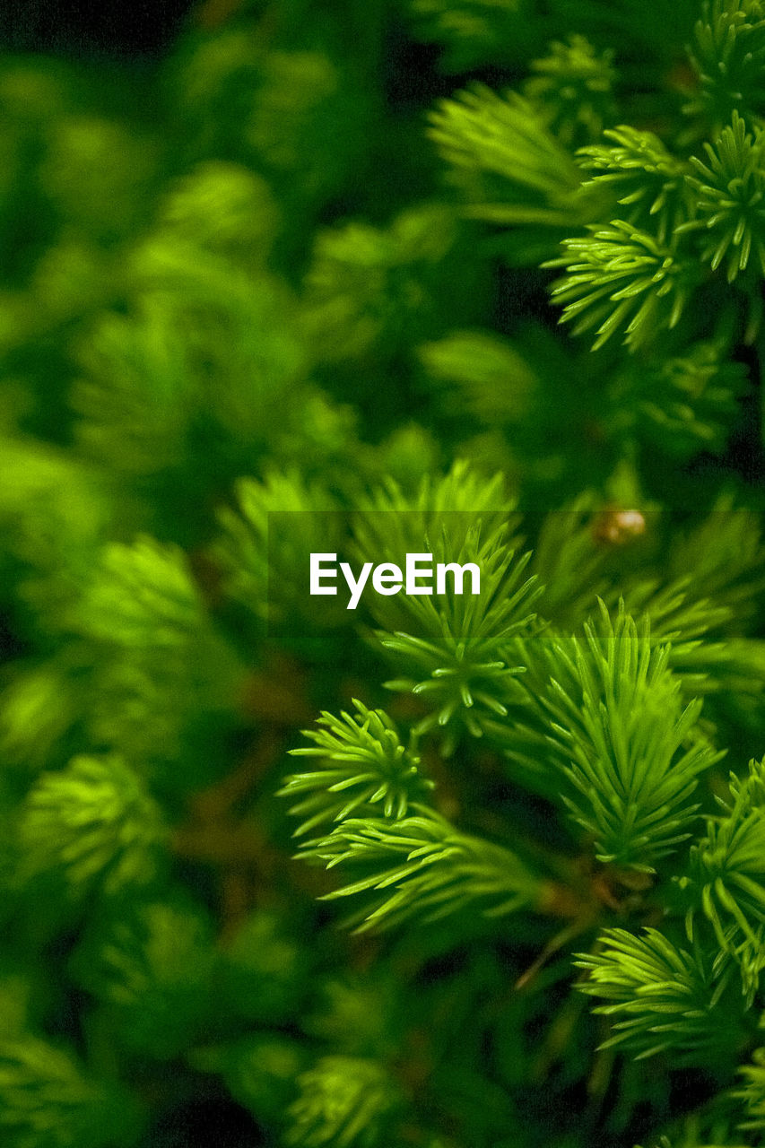 green color, christmas, christmas tree, pine tree, no people, nature, tree, close-up, leaf, growth, spruce tree, day, freshness