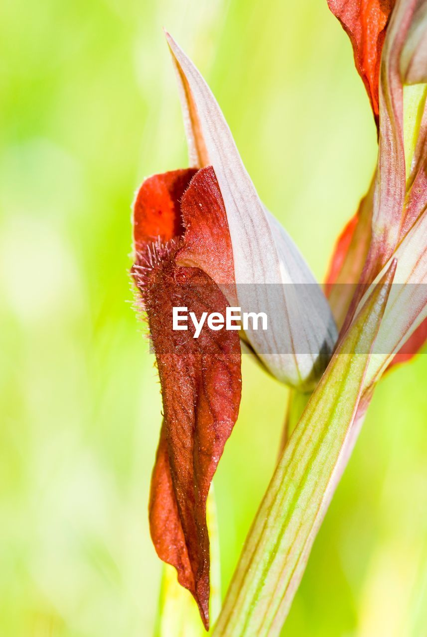 beauty in nature, close-up, plant, flower, vulnerability, flowering plant, fragility, freshness, petal, growth, focus on foreground, inflorescence, no people, flower head, nature, day, lily, red, botany, pollen, outdoors