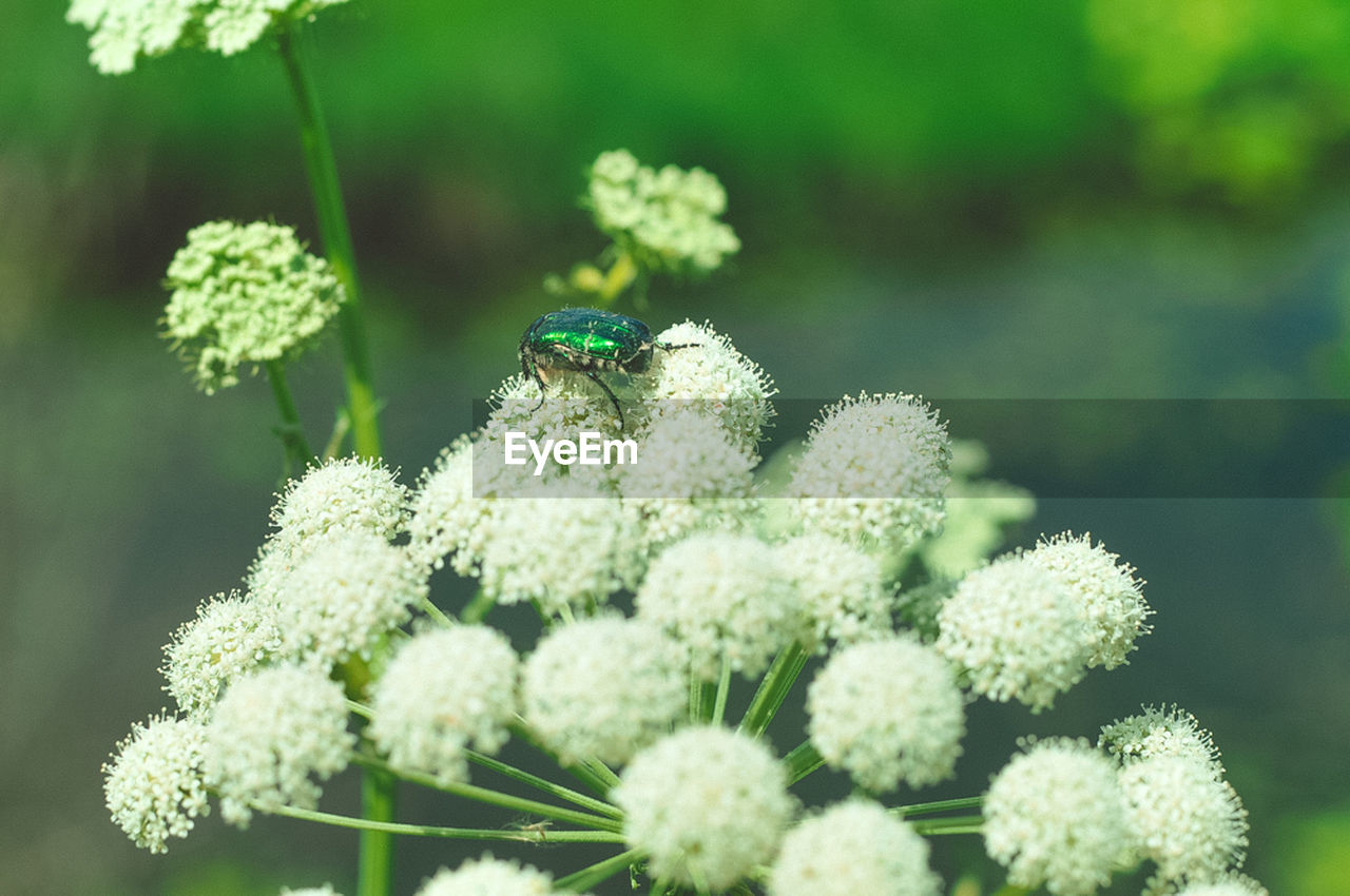 insect, flower, one animal, nature, animals in the wild, growth, plant, animal themes, beauty in nature, day, fragility, green color, close-up, focus on foreground, no people, outdoors, animal wildlife, freshness, flower head, blooming, bee