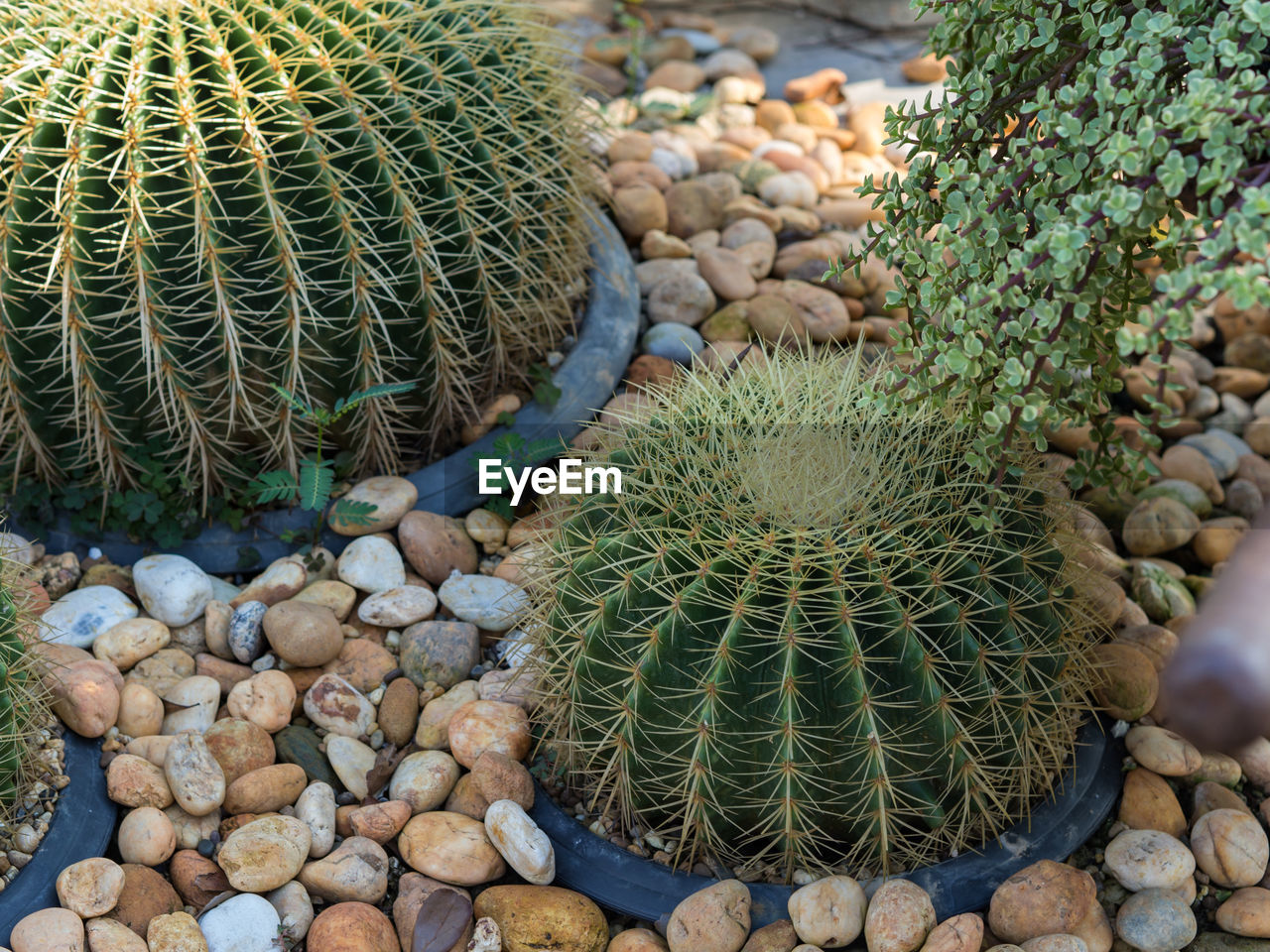 Cacti Growing By Pebbles