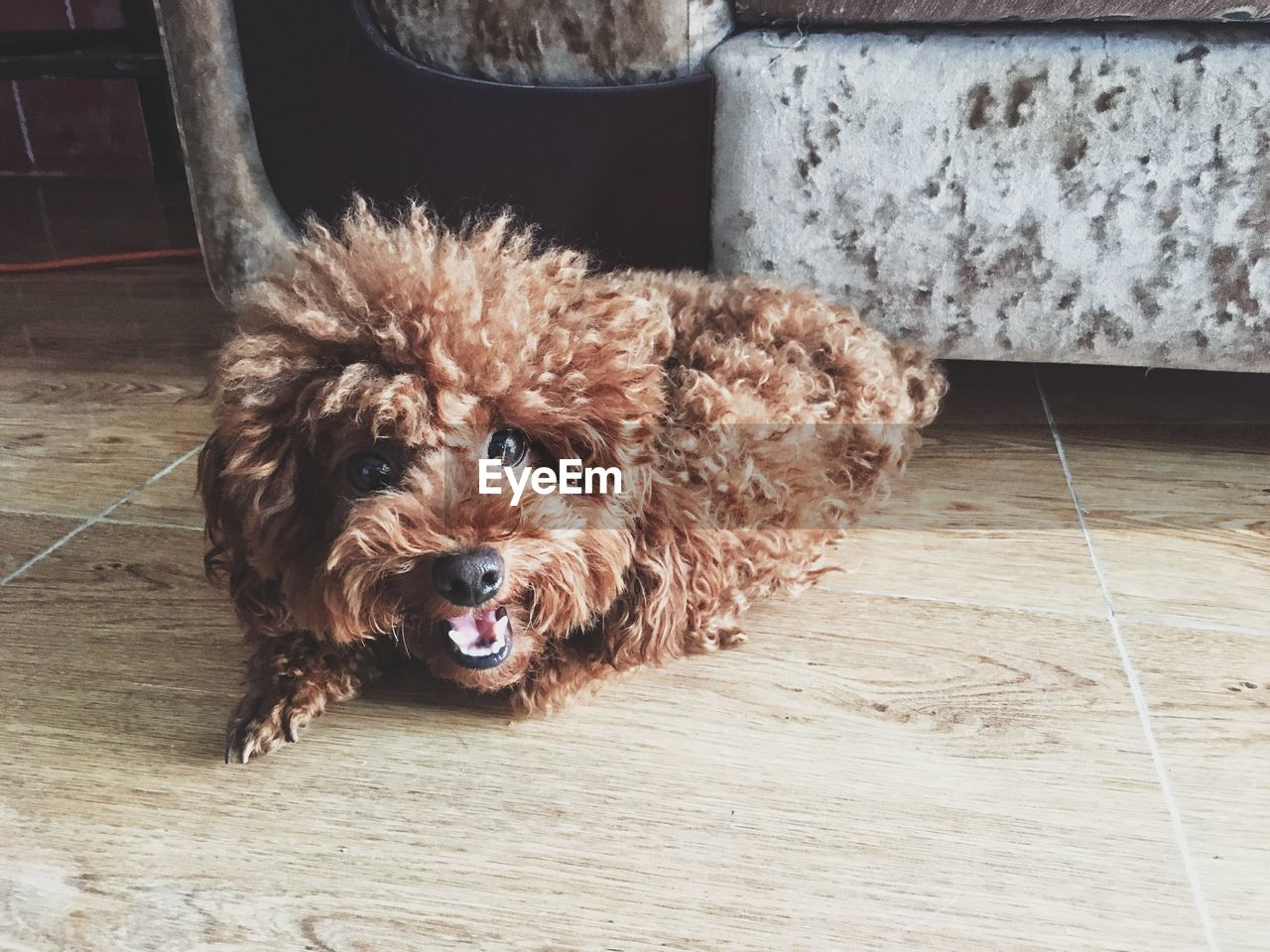 domestic, pets, dog, canine, domestic animals, one animal, mammal, animal themes, animal, flooring, vertebrate, portrait, indoors, home interior, looking at camera, no people, animal hair, brown, animal body part, hair, wood, tiled floor, small, animal head, mouth open