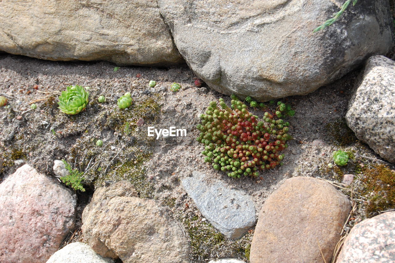 rock - object, fruit, no people, outdoors, day, nature, rock face, healthy eating, food, freshness, prickly pear cactus, close-up