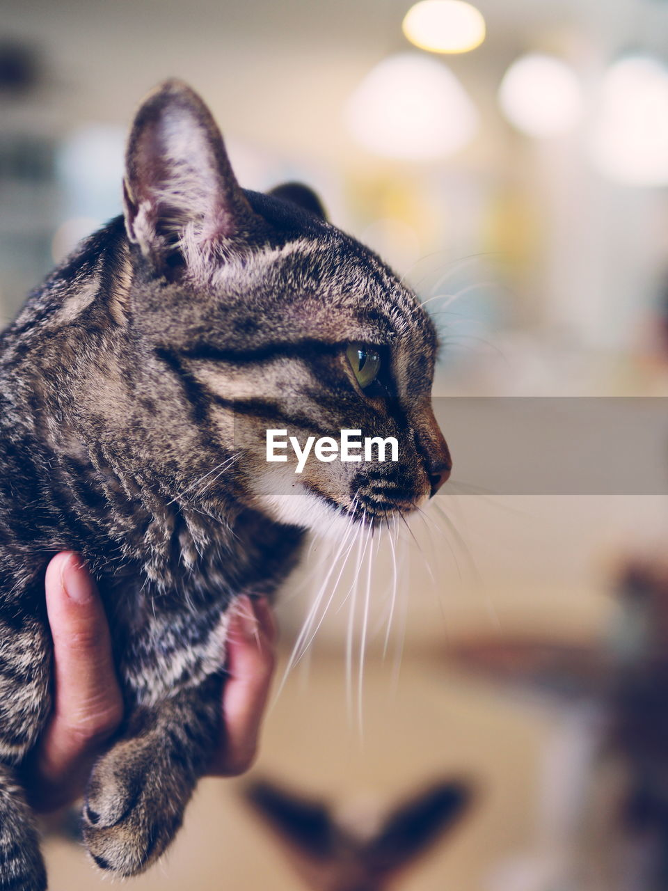 domestic cat, one animal, animal themes, pets, domestic animals, mammal, feline, focus on foreground, whisker, indoors, close-up, no people, day
