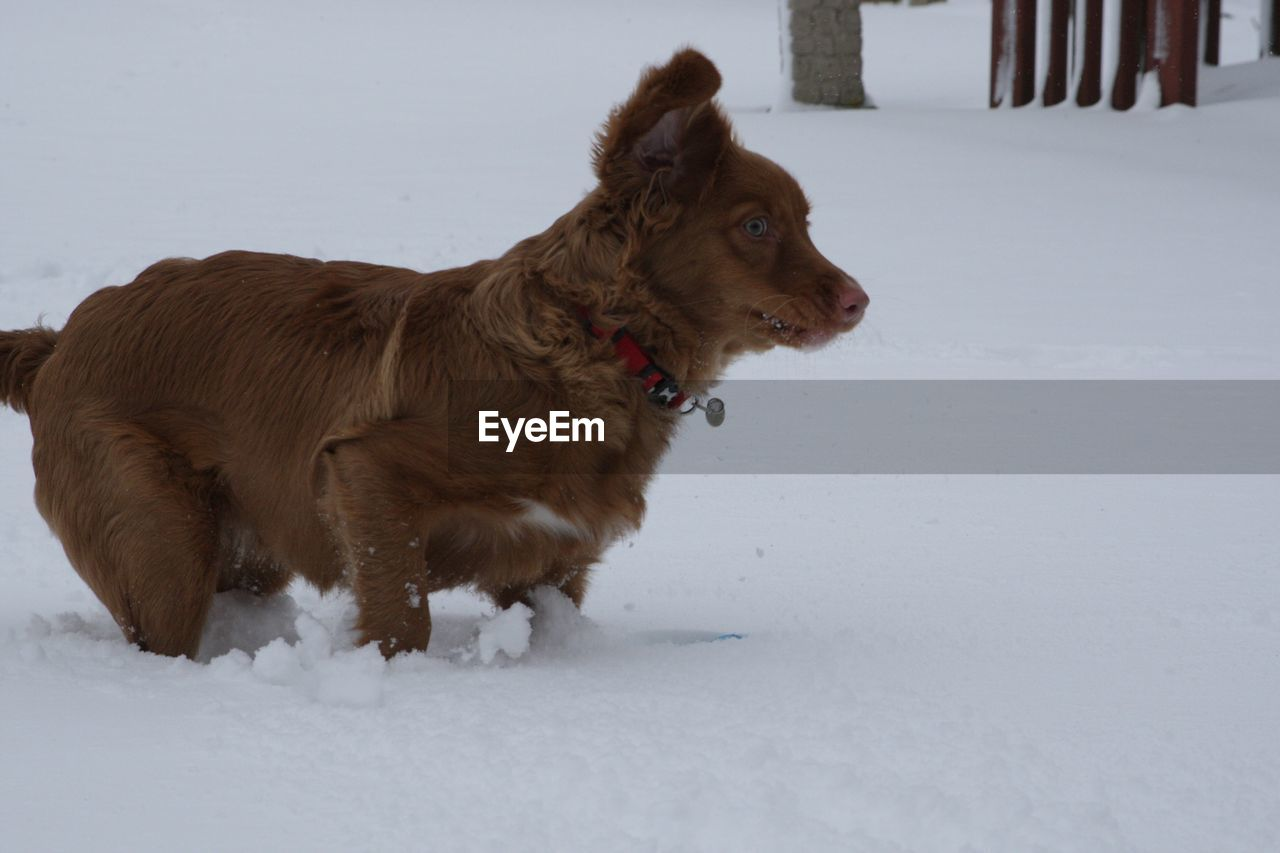 snow, cold temperature, winter, mammal, domestic animals, animal themes, pets, domestic, vertebrate, one animal, animal, canine, dog, field, land, brown, looking away, standing, white color, no people, mouth open