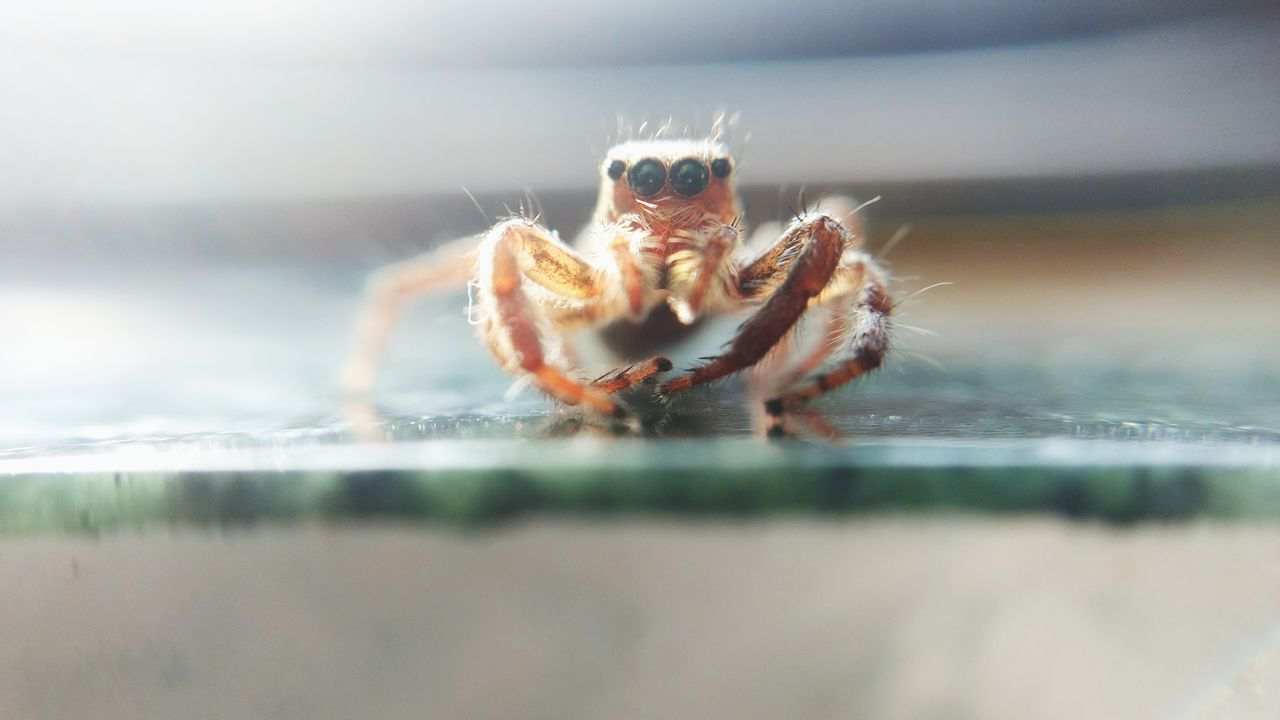 one animal, spider, animal themes, animals in the wild, selective focus, animal wildlife, no people, jumping spider, nature, close-up, day, outdoors