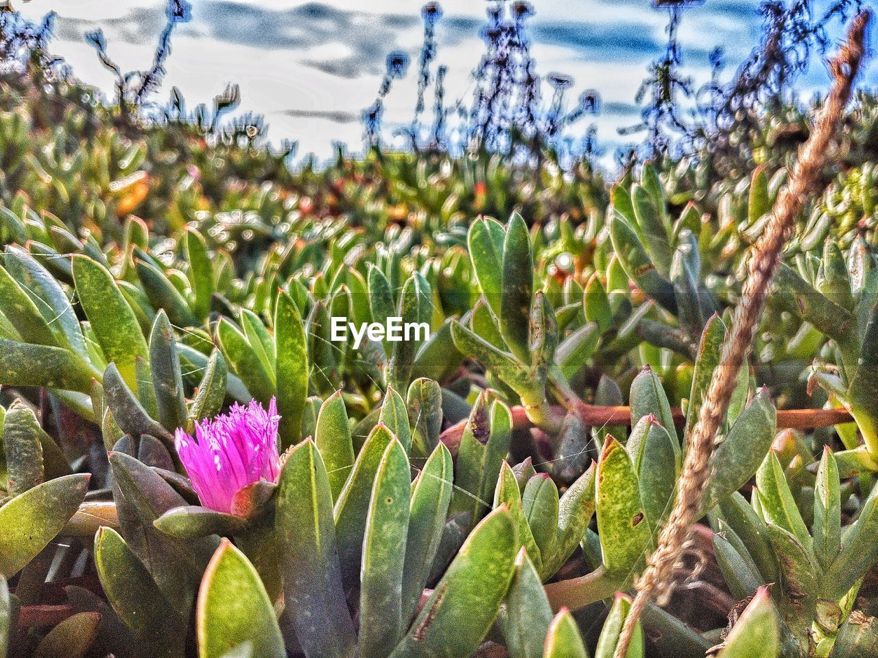 growth, plant, beauty in nature, green color, nature, day, close-up, focus on foreground, leaf, no people, plant part, succulent plant, field, flower, land, sunlight, selective focus, freshness, cactus, flowering plant, outdoors, purple