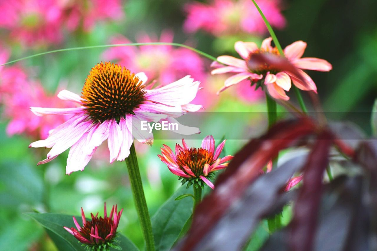 Close-Up Of Fresh Pink Coneflowers Blooming In Park