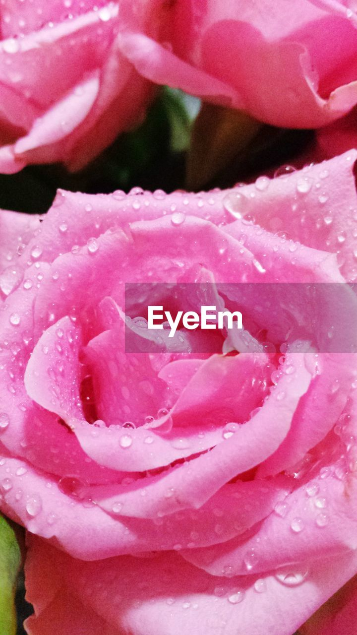 flower, petal, pink color, nature, beauty in nature, rose - flower, drop, fragility, flower head, freshness, wet, growth, water, close-up, raindrop, plant, no people, backgrounds, blooming, outdoors, day, rose petals