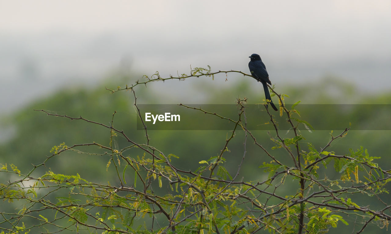 bird, vertebrate, animal themes, animal, animal wildlife, animals in the wild, perching, one animal, plant, no people, day, nature, branch, tree, focus on foreground, outdoors, selective focus, green color, low angle view, black color