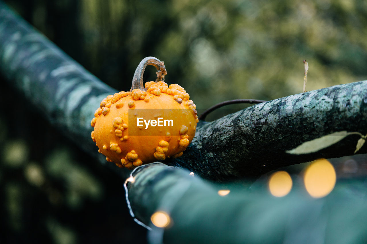 Close-up of pumpkin on tree during halloween