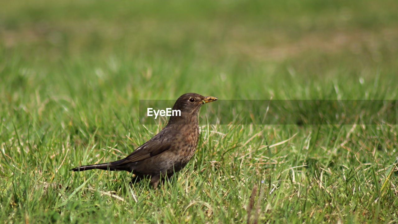 animals in the wild, bird, animal wildlife, animal themes, animal, vertebrate, one animal, grass, plant, green color, land, nature, field, no people, day, side view, selective focus, growth, outdoors, perching, profile view