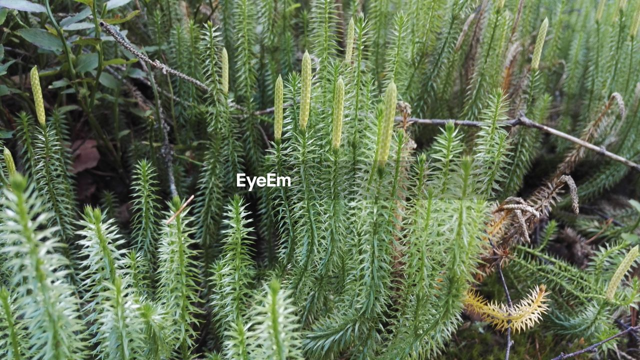 green color, growth, nature, plant, no people, close-up, day, full frame, leaf, outdoors, needle - plant part, beauty in nature, pine tree, backgrounds, needle, freshness, spruce tree, fragility, tree