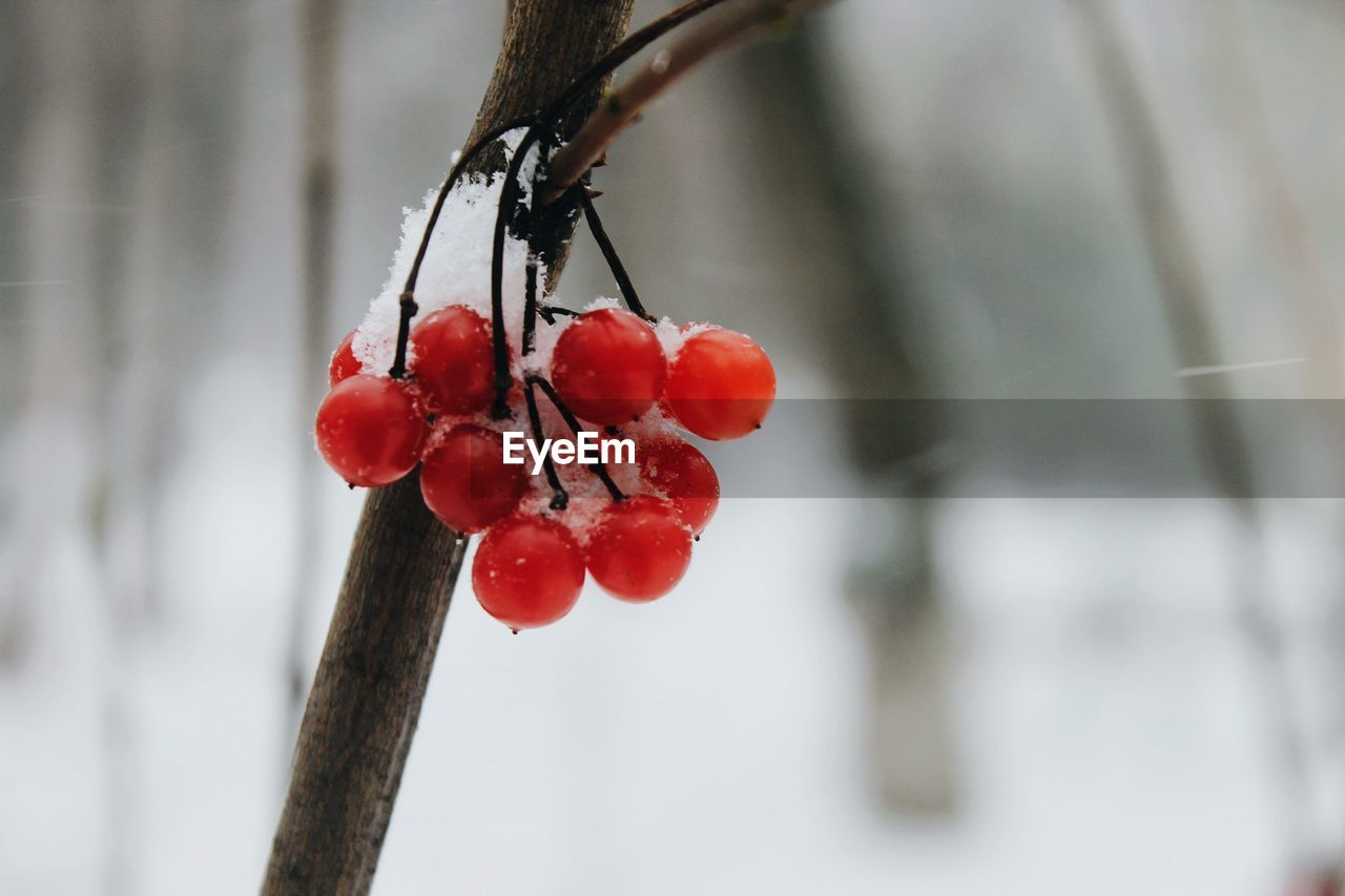 red, focus on foreground, fruit, close-up, food and drink, rose hip, nature, tree, growth, no people, day, beauty in nature, outdoors, food, freshness