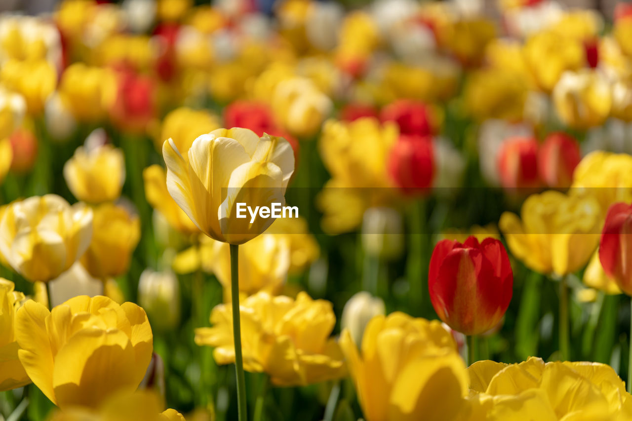 flowering plant, flower, freshness, vulnerability, fragility, plant, beauty in nature, yellow, tulip, petal, flower head, inflorescence, growth, close-up, no people, nature, focus on foreground, plant stem, field, botany, flower arrangement, bouquet