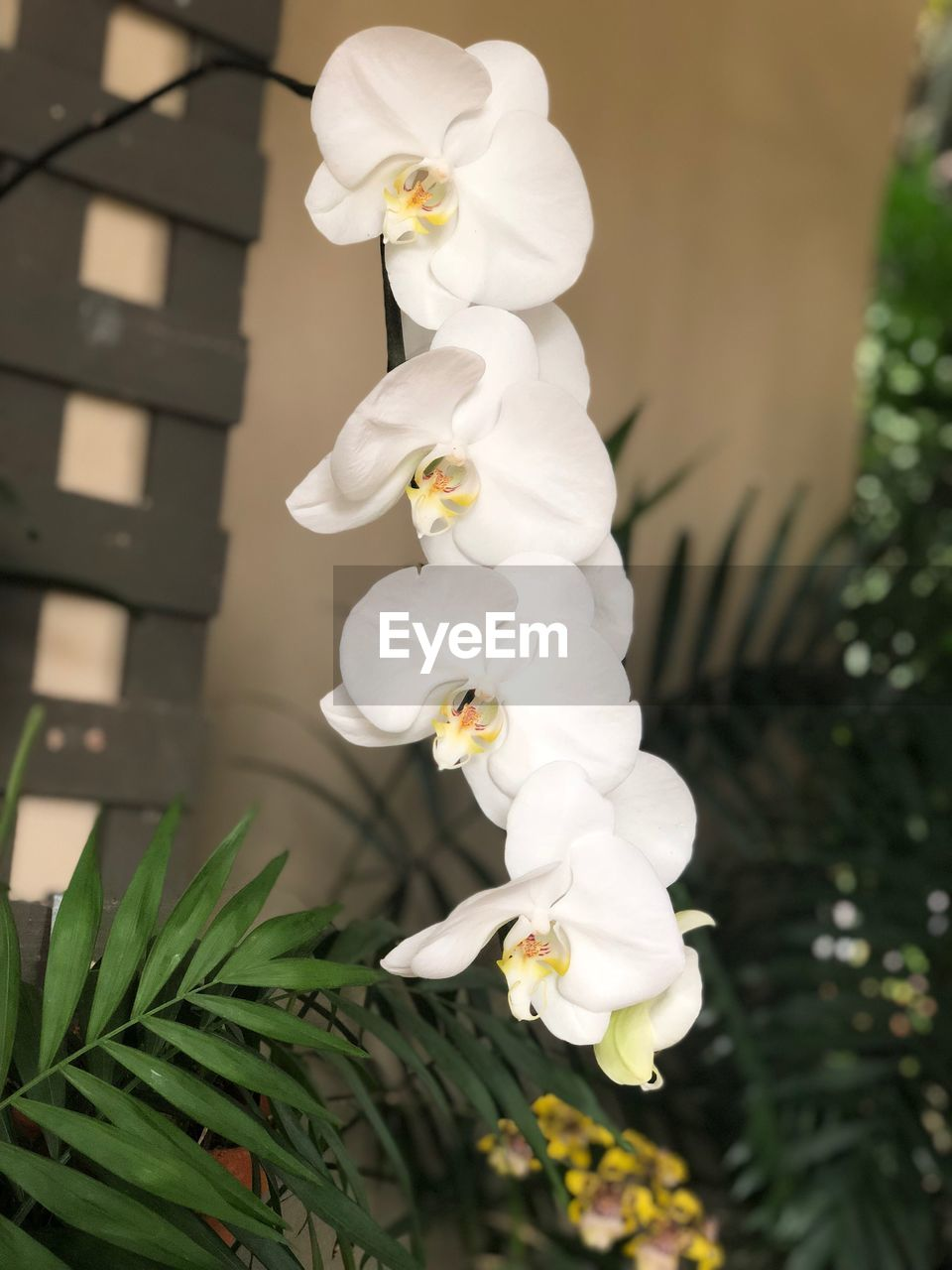 white color, flower, no people, growth, focus on foreground, petal, beauty in nature, nature, plant, close-up, freshness, day, flower head, fragility, tree, outdoors