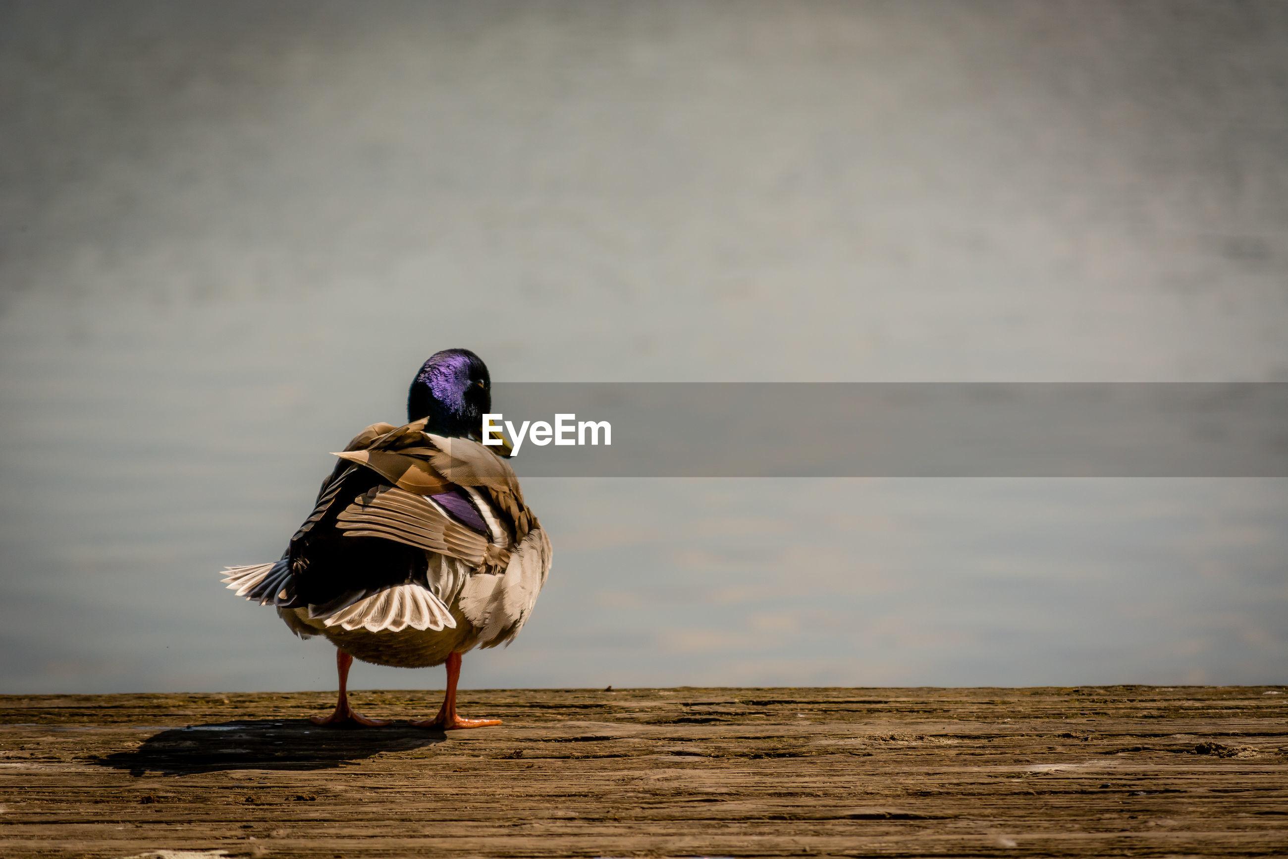 Mallard duck by lake on jetty