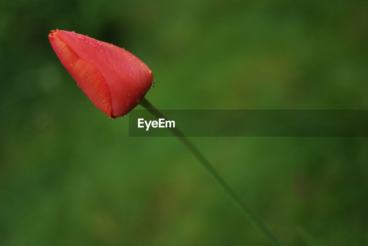 plant, vulnerability, fragility, beauty in nature, flowering plant, flower, growth, close-up, freshness, nature, red, no people, selective focus, petal, focus on foreground, bud, water, green color, day, outdoors, flower head, dew, raindrop