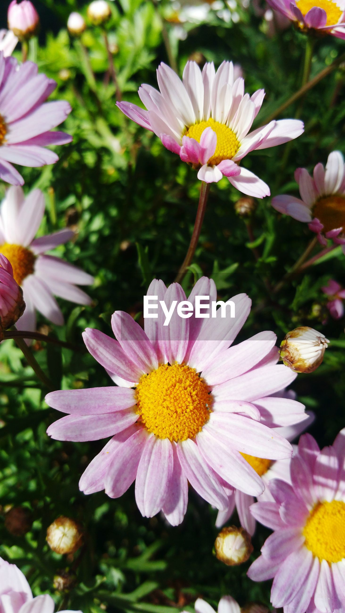CLOSE-UP OF FRESH PINK DAISY FLOWERS BLOOMING OUTDOORS