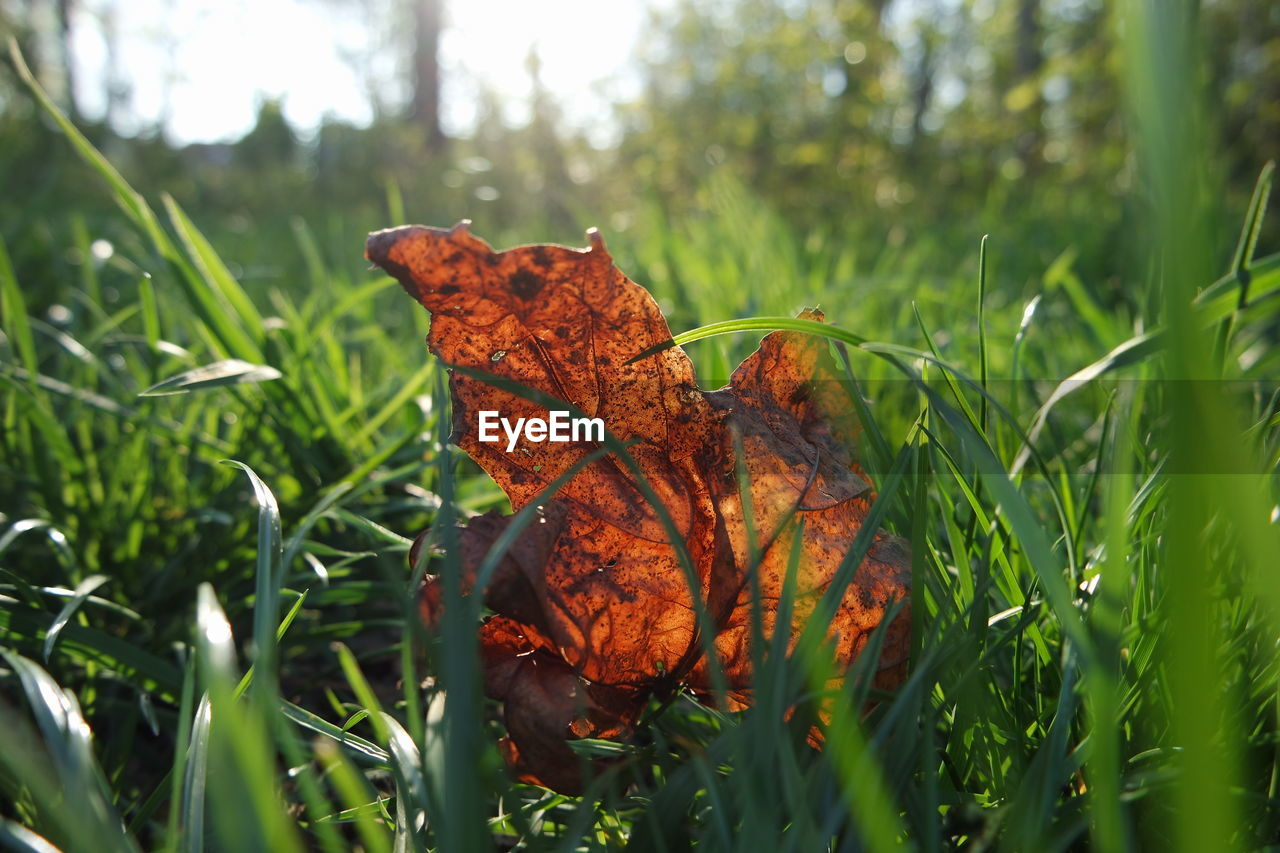 leaf, plant, plant part, nature, day, orange color, growth, beauty in nature, close-up, no people, dry, land, green color, outdoors, vulnerability, autumn, brown, fragility, field, selective focus, leaves