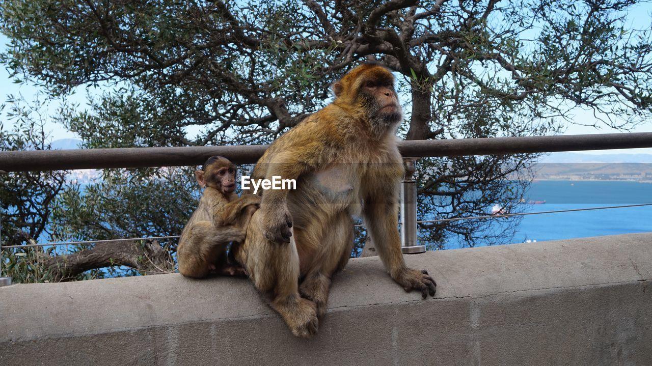 Monkeys Sitting On Retaining Wall By Sea