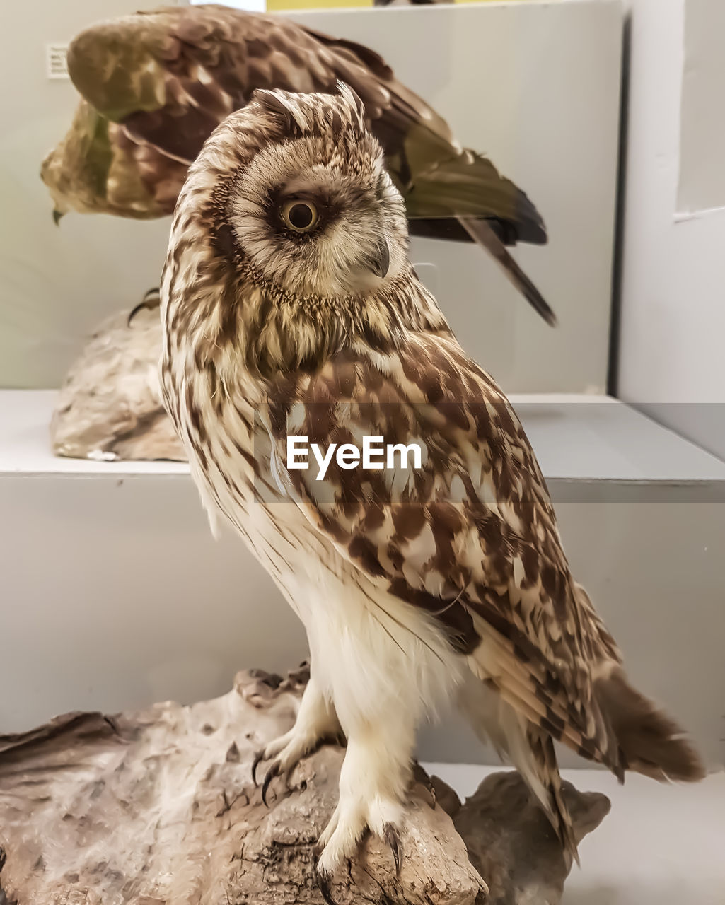 one animal, vertebrate, bird, indoors, close-up, no people, bird of prey, animal wildlife, animals in the wild, focus on foreground, owl, day, home interior, feather, looking at camera, portrait, domestic, animal eye