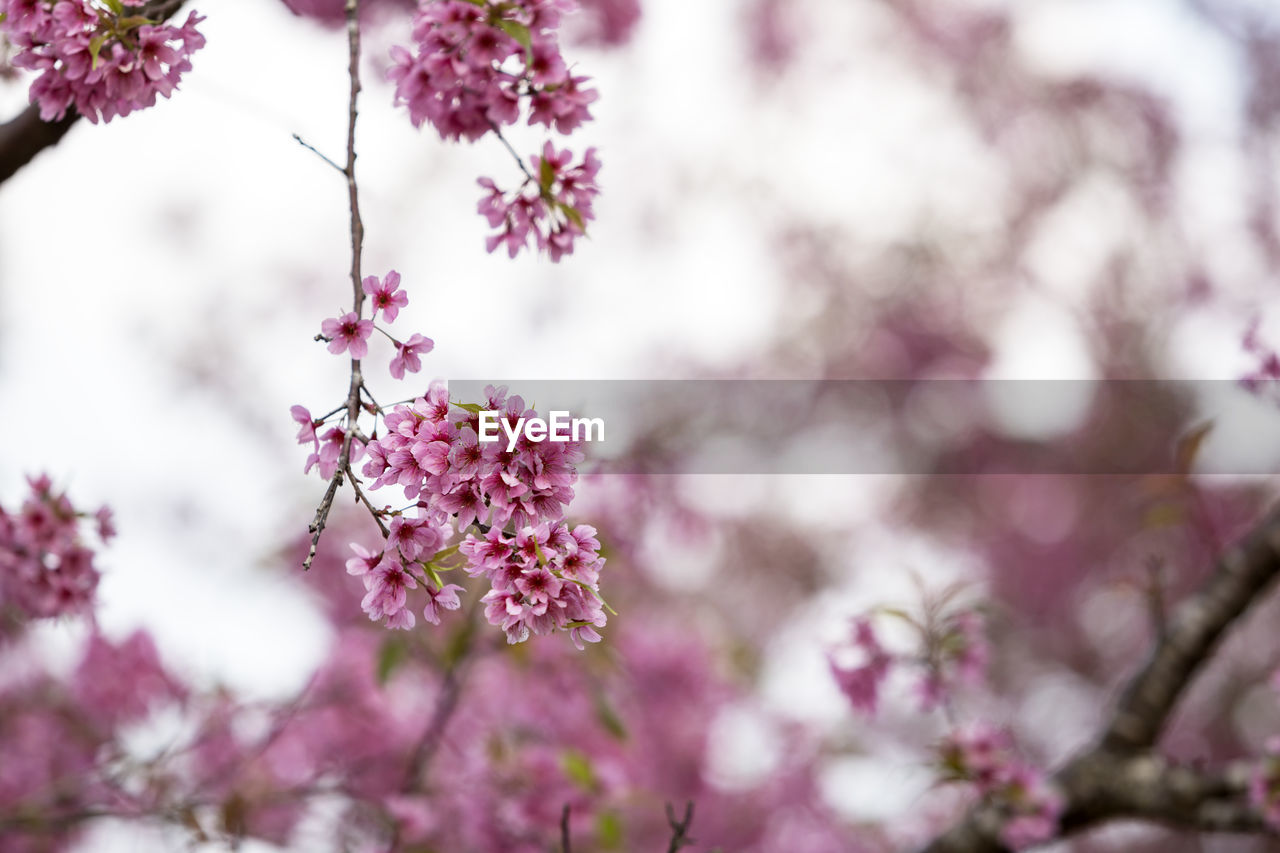 flowering plant, flower, plant, freshness, growth, fragility, beauty in nature, vulnerability, pink color, tree, close-up, nature, day, no people, selective focus, blossom, flower head, petal, branch, springtime, outdoors, purple, cherry blossom, cherry tree