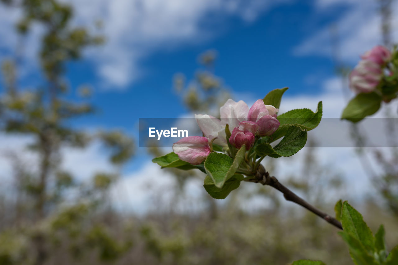 plant, flower, flowering plant, growth, beauty in nature, vulnerability, fragility, close-up, petal, pink color, freshness, focus on foreground, nature, day, flower head, inflorescence, selective focus, outdoors, no people, leaf, springtime, spring
