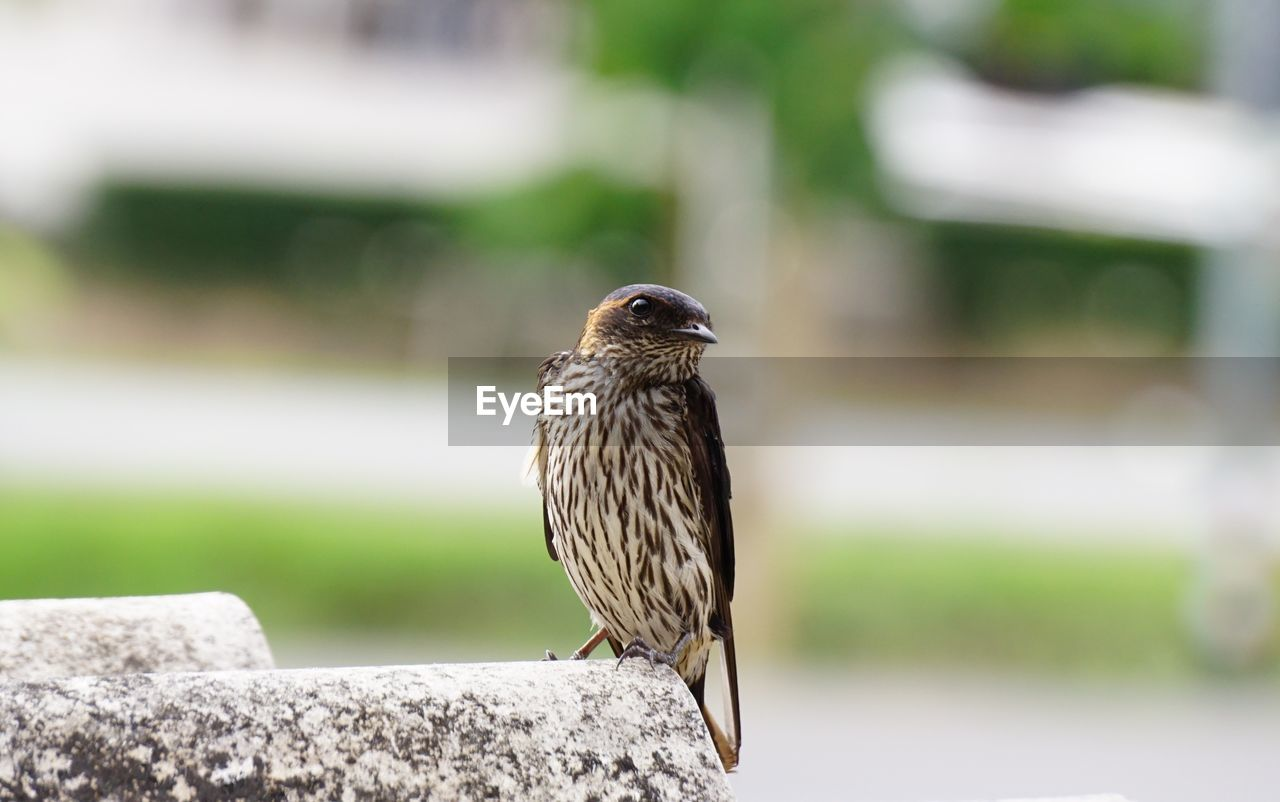 animal themes, animal, vertebrate, bird, animals in the wild, animal wildlife, one animal, perching, focus on foreground, day, no people, nature, close-up, sparrow, outdoors, wall, zoology, solid, full length, wood - material