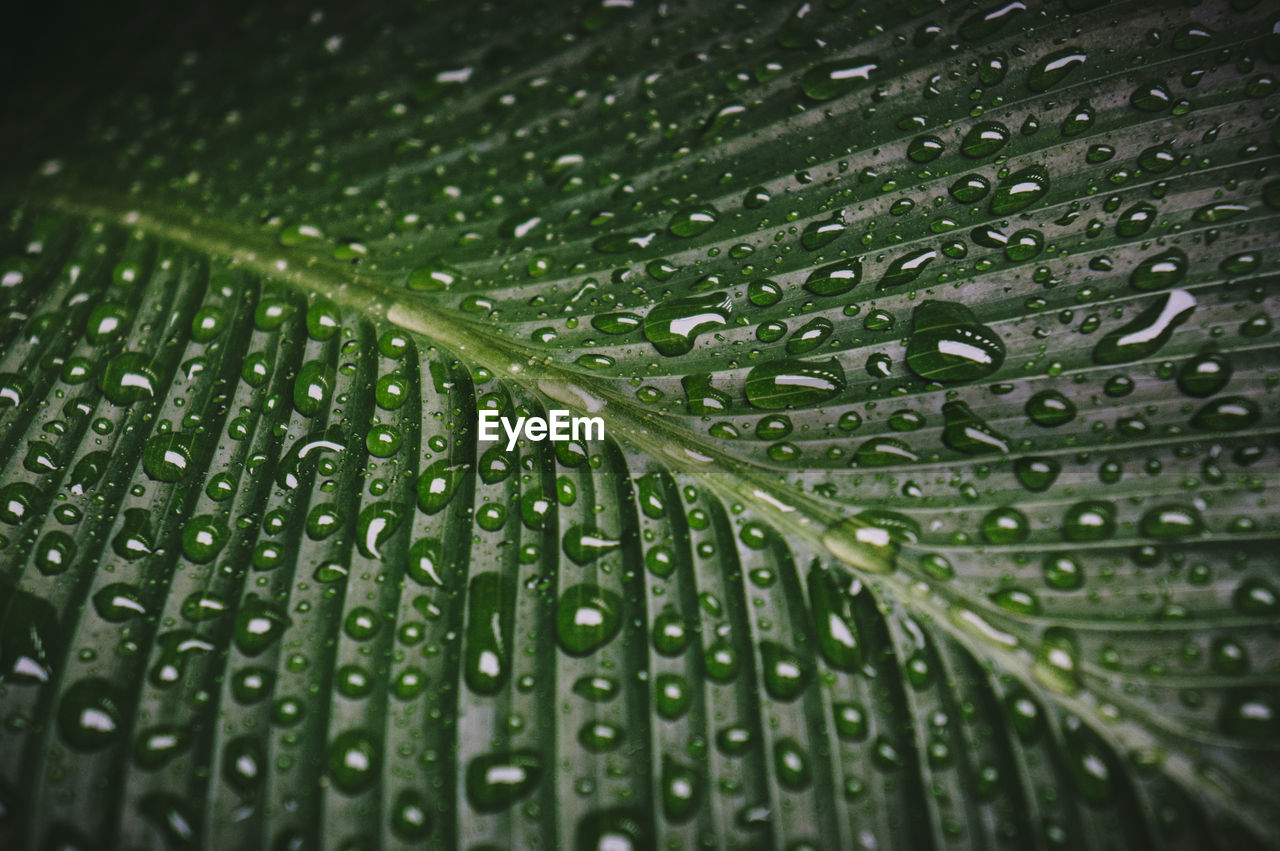wet, drop, green color, water, close-up, rain, backgrounds, no people, freshness, nature, leaf, full frame, plant part, pattern, leaf vein, plant, selective focus, growth, raindrop, outdoors, rainy season, leaves, dew, purity, blade of grass