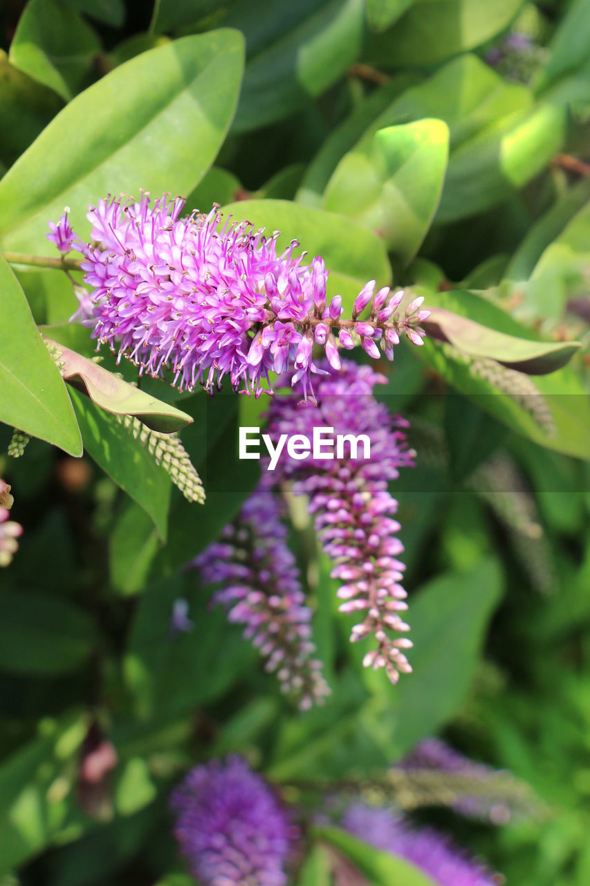 flowering plant, flower, plant, vulnerability, fragility, freshness, beauty in nature, growth, purple, flower head, petal, close-up, inflorescence, leaf, plant part, nature, green color, day, pink color, no people, outdoors, springtime