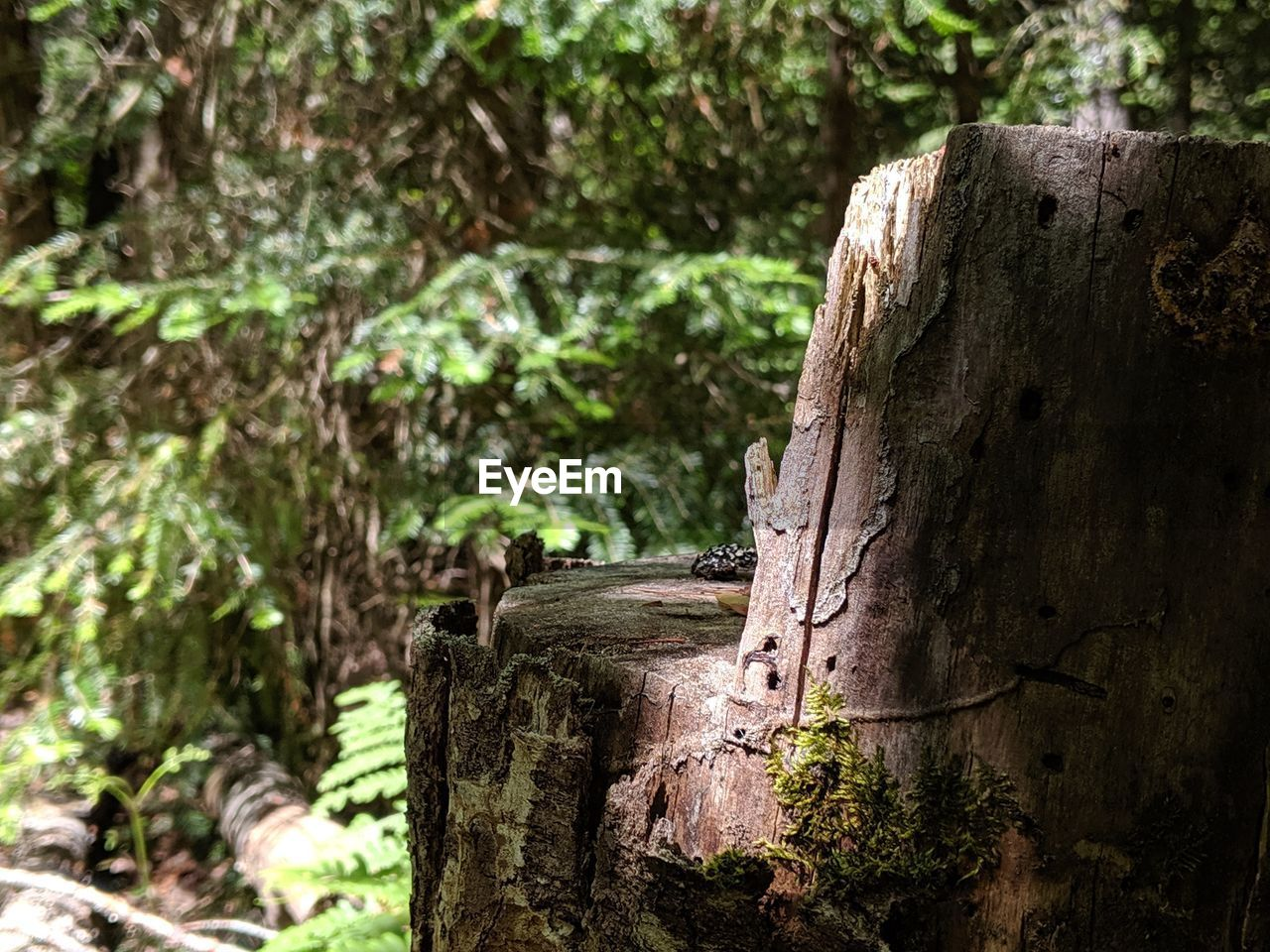 tree, focus on foreground, wood - material, plant, nature, tree trunk, bark, day, textured, trunk, no people, growth, close-up, forest, rough, outdoors, selective focus, wood, plant bark, log