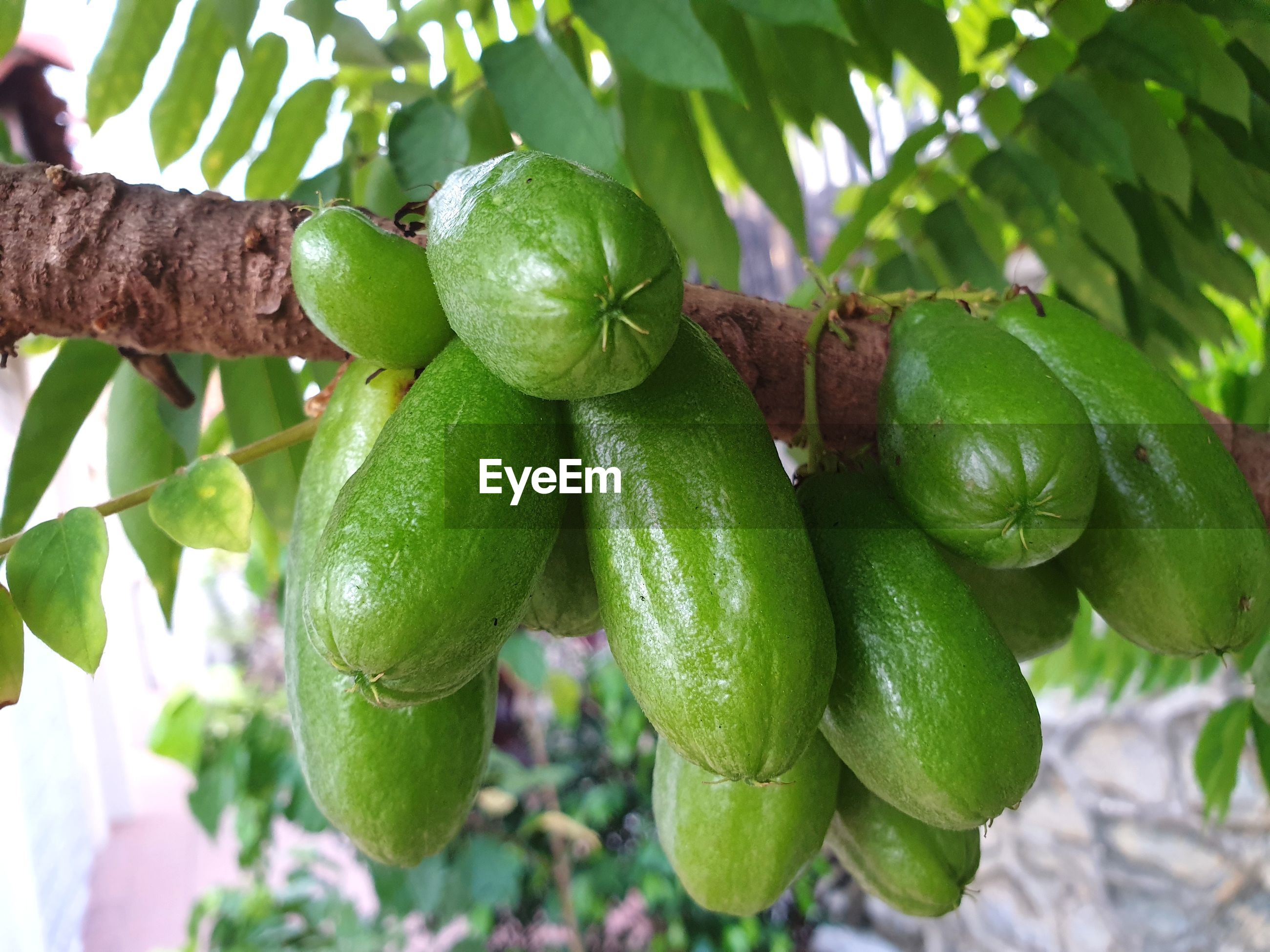 CLOSE-UP OF FRESH FRUITS ON TREE