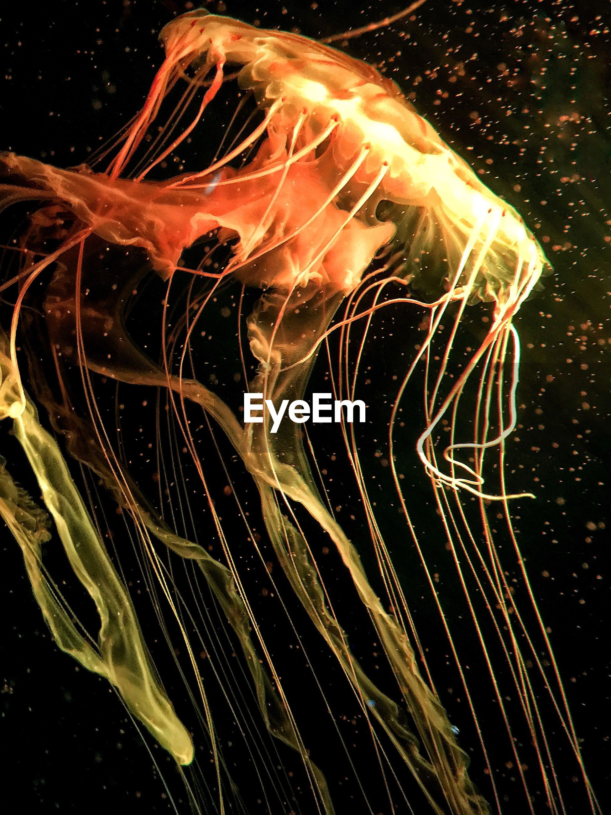 Close-up of jellyfish swimming against black background