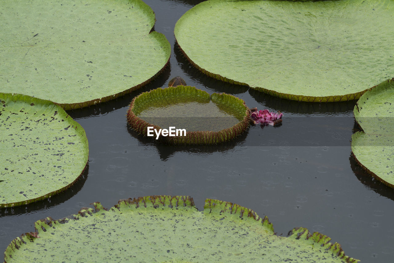 HIGH ANGLE VIEW OF LILY FLOWERS IN LAKE