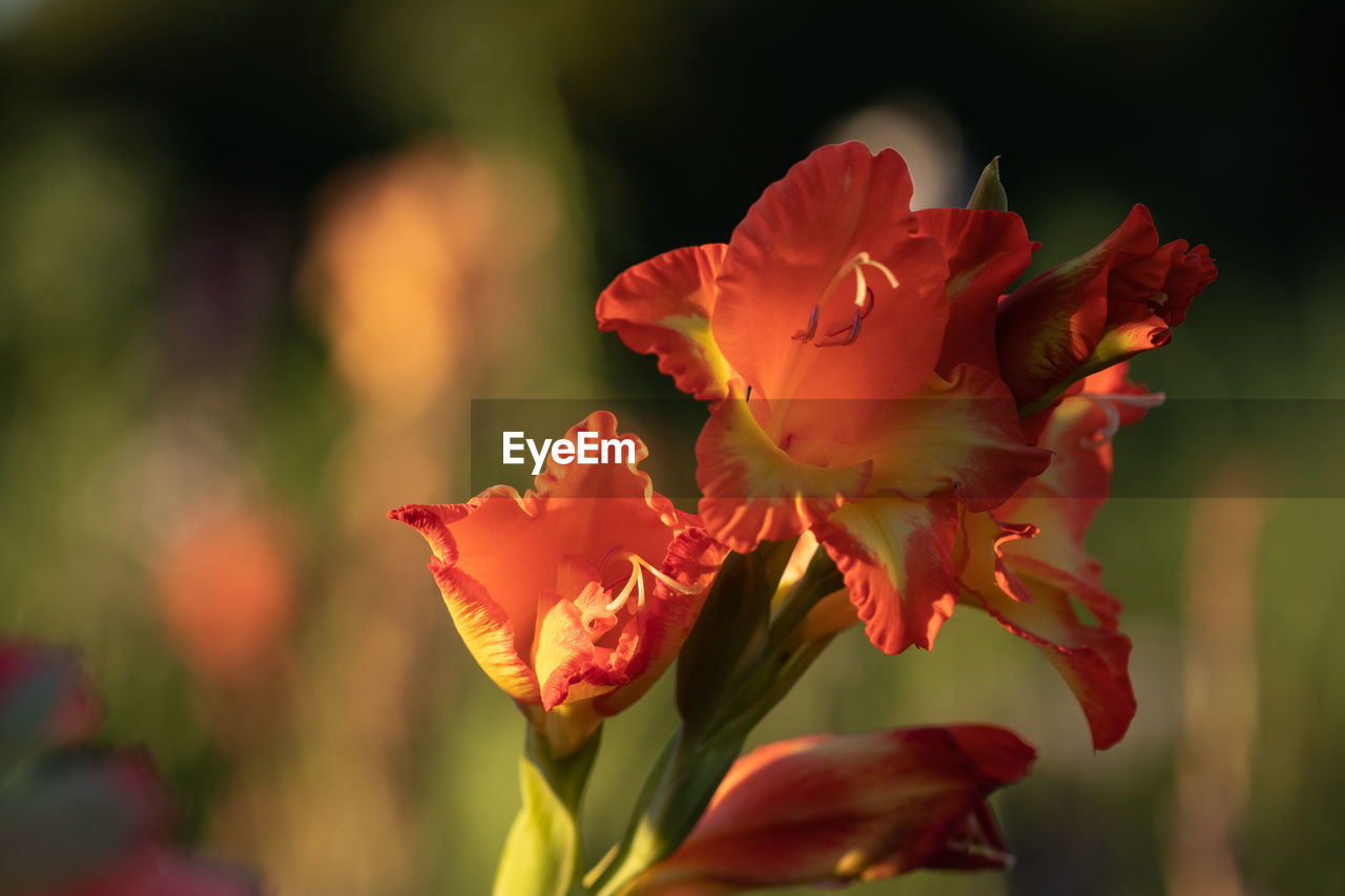 flowering plant, flower, beauty in nature, vulnerability, fragility, petal, freshness, plant, close-up, growth, flower head, inflorescence, focus on foreground, nature, red, no people, outdoors, day, selective focus, sunlight