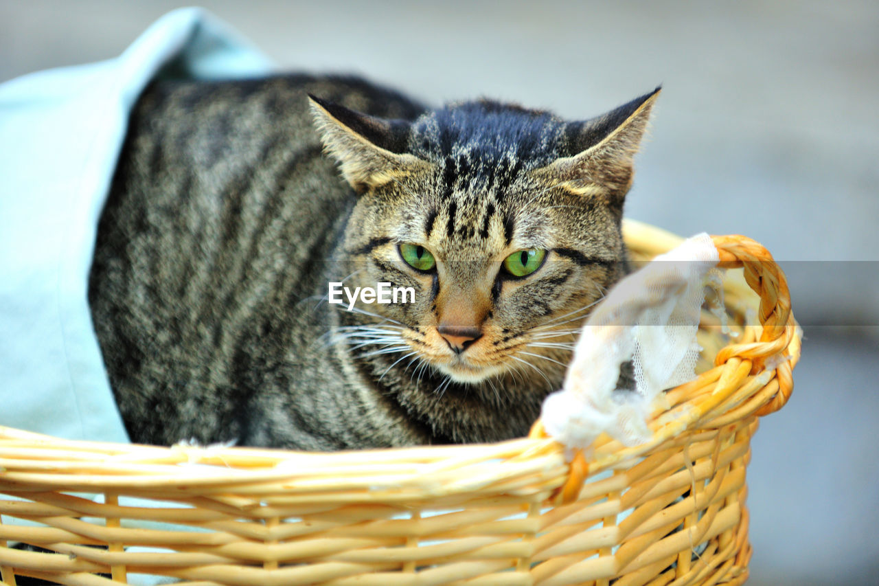 basket, animal themes, one animal, domestic cat, pets, domestic animals, focus on foreground, mammal, no people, close-up, feline, looking at camera, whisker, outdoors, day, portrait