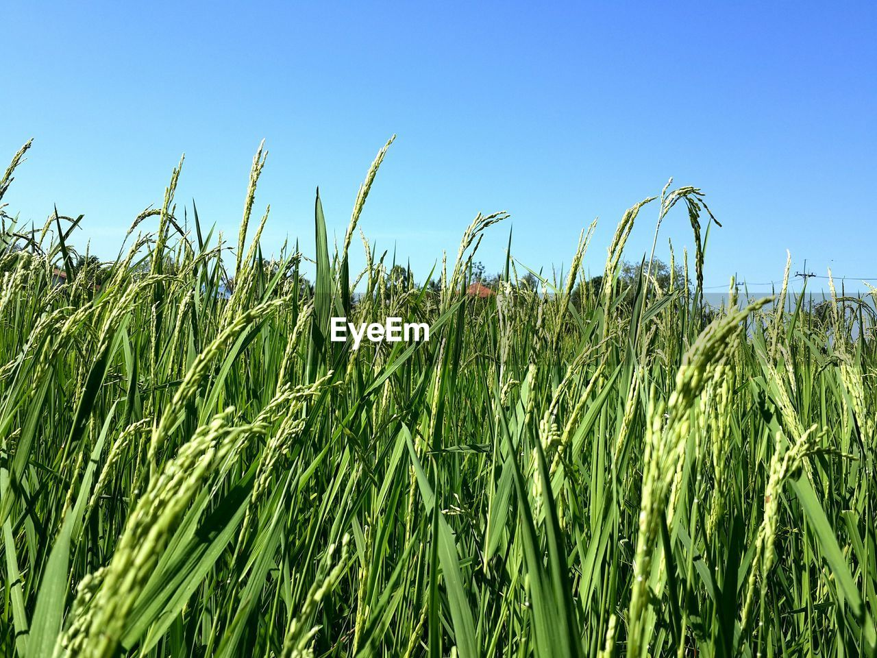 growth, agriculture, crop, farm, field, green color, nature, cereal plant, day, blue, plant, no people, tranquility, clear sky, outdoors, sky, ear of wheat, beauty in nature, rural scene, wheat, close-up, grass