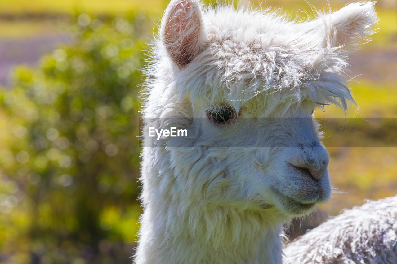 animal themes, animal, mammal, one animal, domestic animals, vertebrate, pets, livestock, focus on foreground, domestic, white color, close-up, day, no people, animal head, llama, nature, field, animal body part, land, outdoors, herbivorous