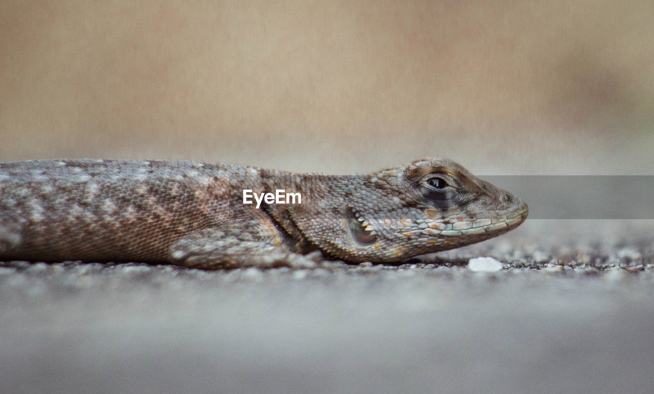 animal, one animal, animal themes, reptile, animal wildlife, animals in the wild, vertebrate, close-up, selective focus, no people, animal body part, lizard, nature, day, outdoors, animal head, side view, land, eye, looking, animal scale, animal eye