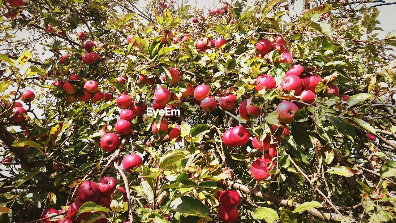 fruit, growth, tree, food and drink, nature, outdoors, red, food, day, growing, no people, beauty in nature, freshness, rose hip, wild rose, plant, green color, leaf, branch, close-up
