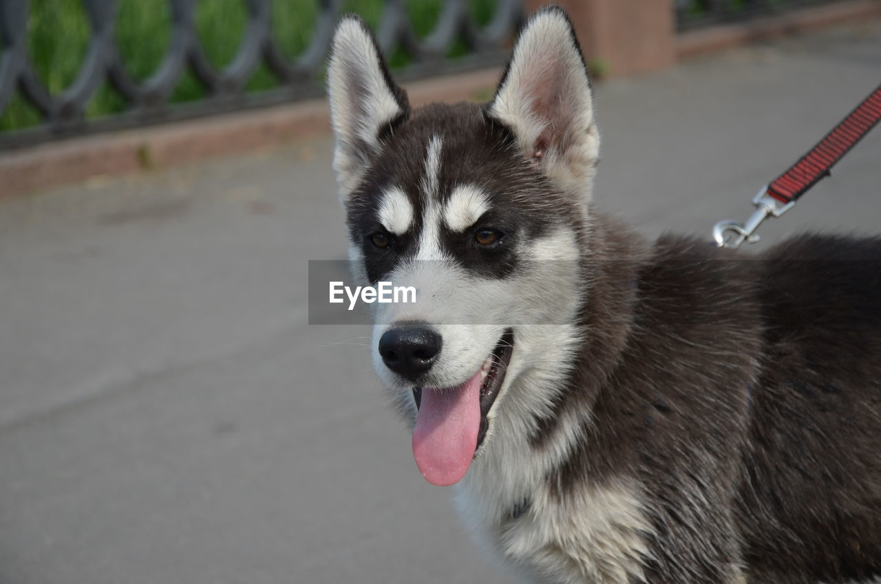 one animal, mammal, domestic, animal themes, animal, domestic animals, dog, canine, pets, vertebrate, focus on foreground, sled dog, siberian husky, close-up, no people, animal body part, looking, facial expression, sticking out tongue, portrait, animal tongue, mouth open, animal head, whisker